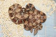 Продаю рептилий в Новосибирске