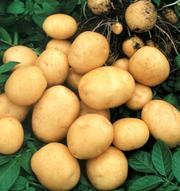 Оптовая продажа картофеля от производителя