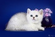 Британский котенок серебристого окраса. Ellinweiss/