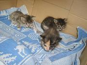 очаровательные котятки - карапузики в добрые руки