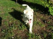 Беленький щенок в добрые руки