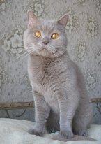 Чистопородный крупный большущий британский лиловый кот,