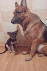 Продается аллиментный щенок немецкой овчарки